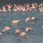 Makgadikgadi-flamingos