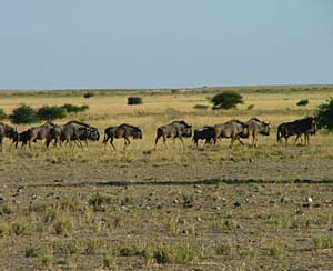 Wildebeest returning to the Pans