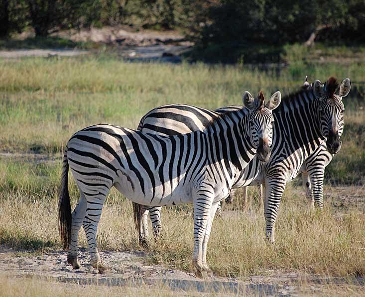 Chobe-zebra