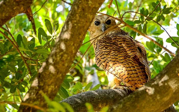 Owl near Delta Camp