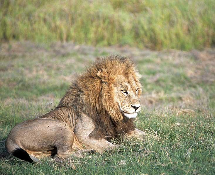 Kalahari-lion