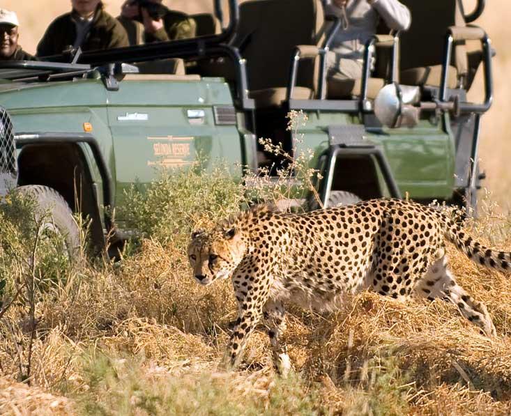 Lin-Sel-Kwando-cheetah