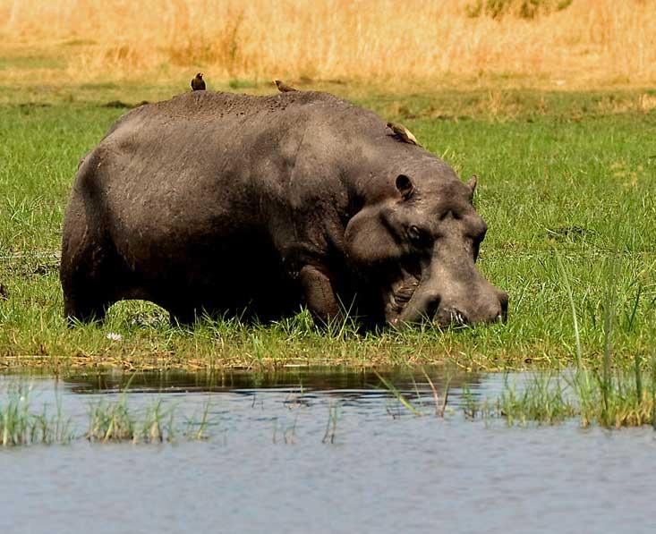 Lin-Sel-Kwando-hippo