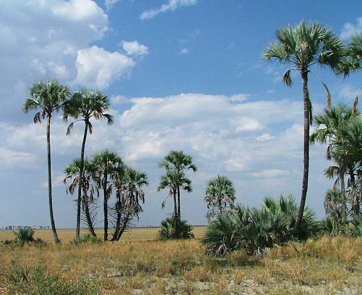 Makgadikgadi-palms-