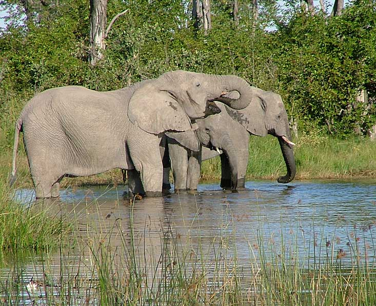 Moremi-elephants