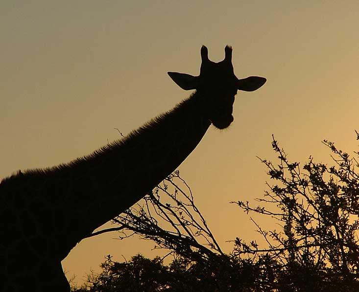 Moremi-giraffe