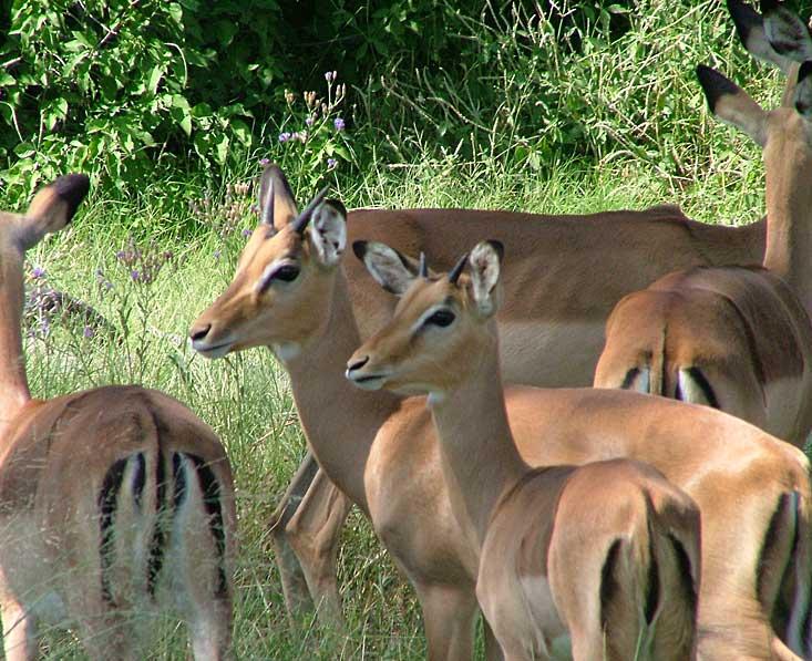 Moremi-impala