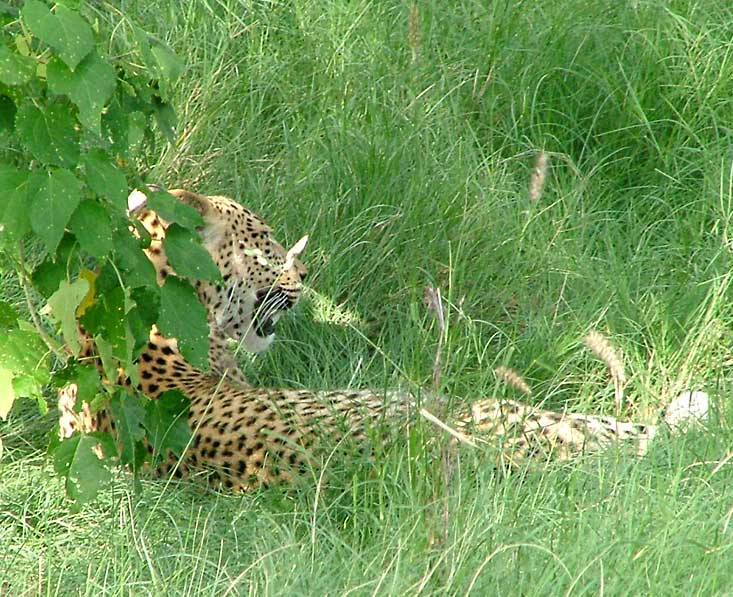 Moremi-leopard