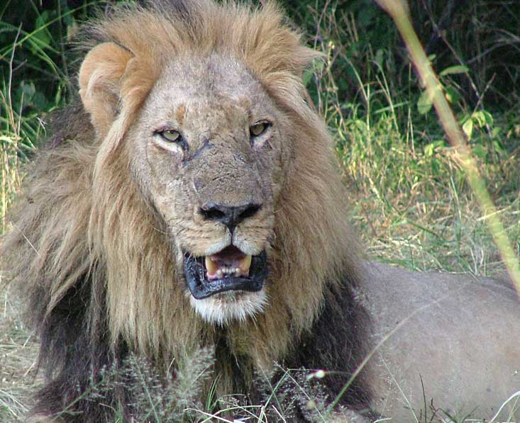 Moremi-lion