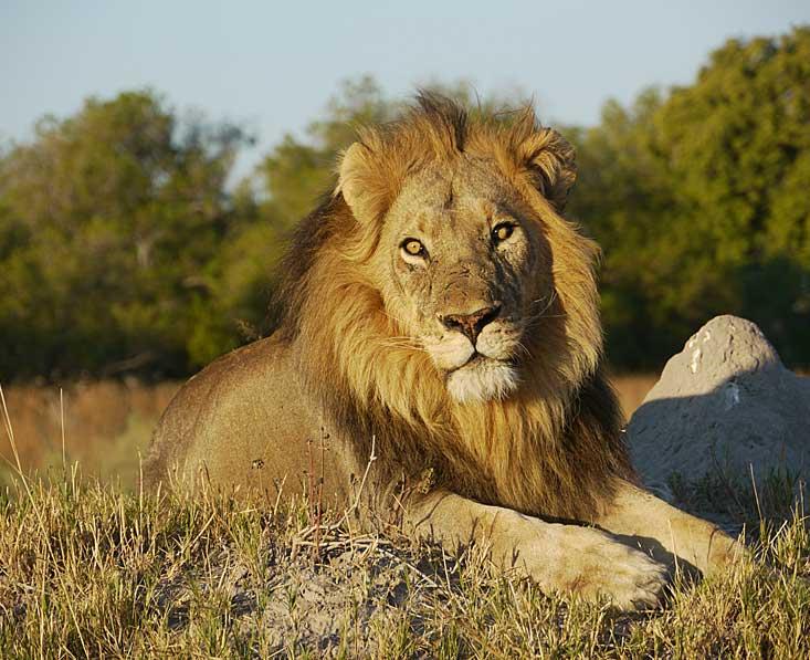 Okavango-delta-lion