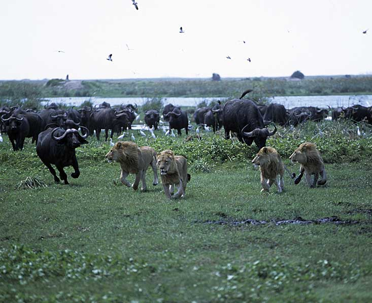 Okavango-delta-lions-buff