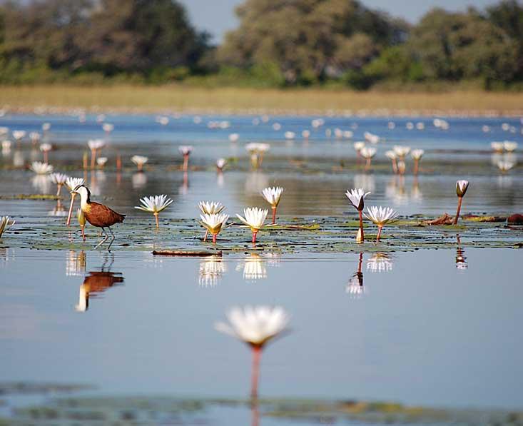 Okavango delta lillies