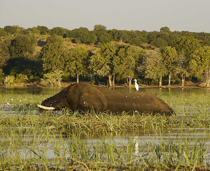 Elephant cross the Okavango delta