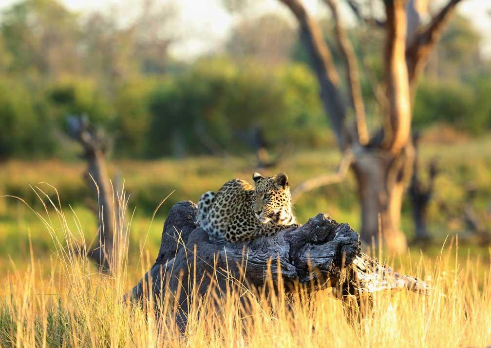 Leopard near Khwai Tented Camp