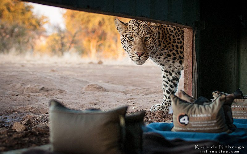 Leopard-at-the-hide-2