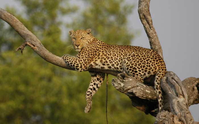 Little-Kwara-leopard