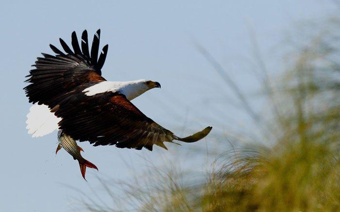 Nxamaseri-fish-eagle