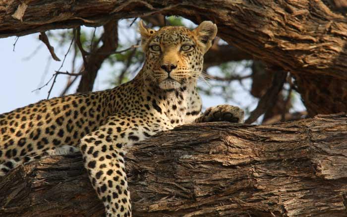 SangoSC17-leopard