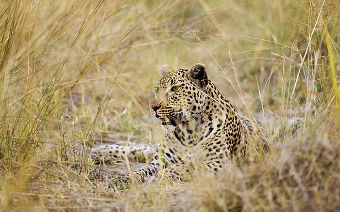 Shinde-Camp-leopard
