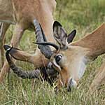 impala-rut