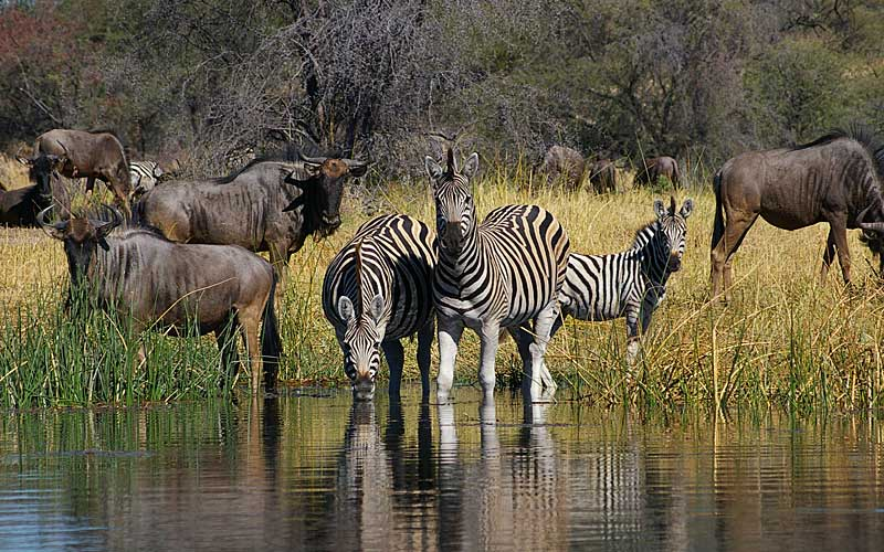 zebra-migration-3