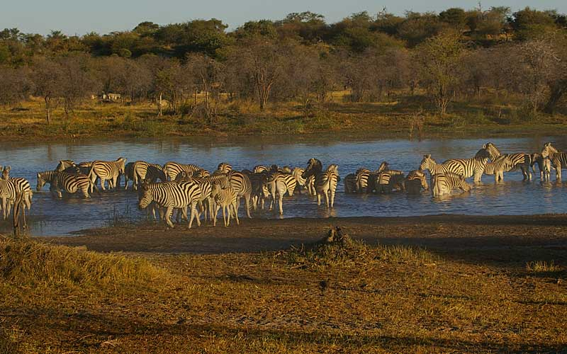 zebra-migration-4