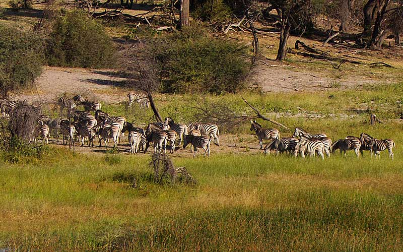 zebra-migration-5