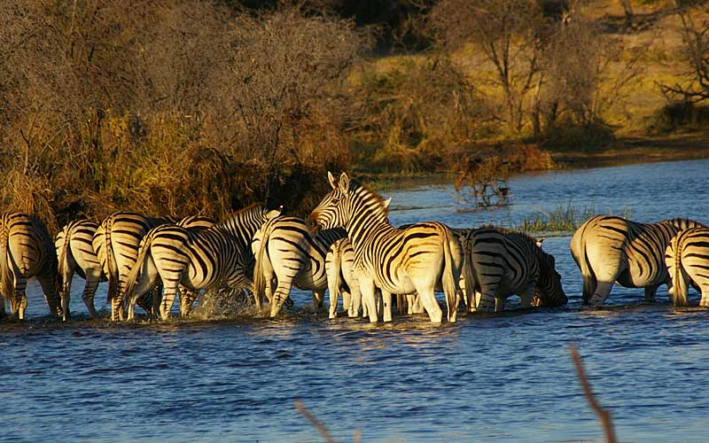 zebra-migration-6
