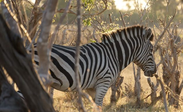 Zebra-trees-SafDest
