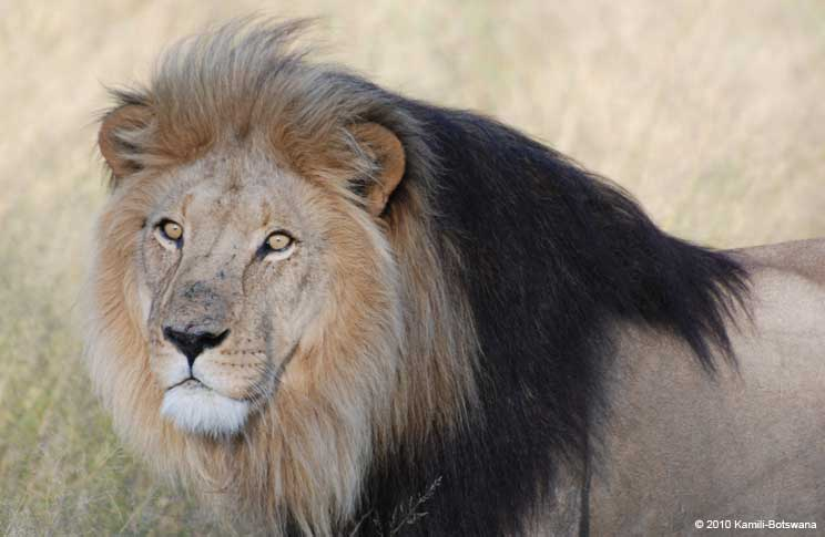 black-maned-lion