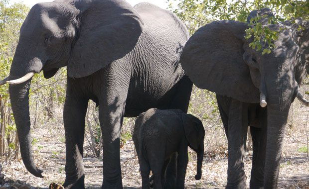 elephant-family-tracy