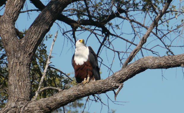 fish-eagle-amanda