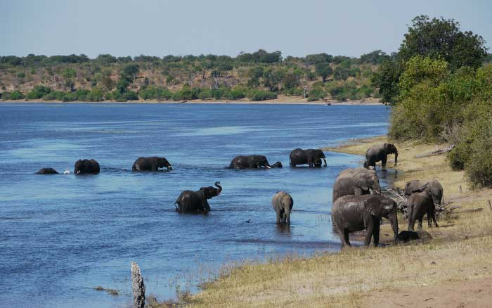 Elephant herd Chobe river