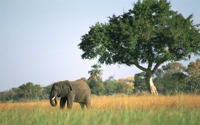 Elephant marula tree