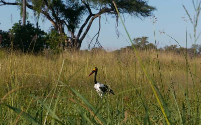 Stork in grass