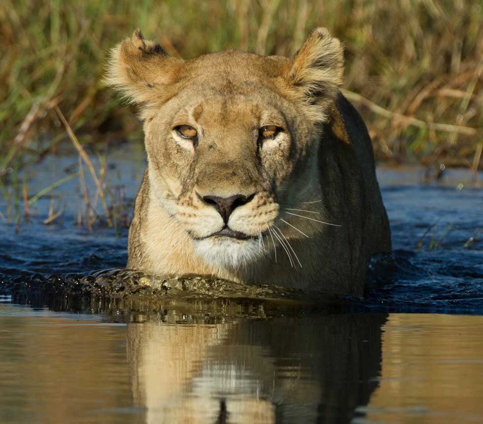 Lion wading through water