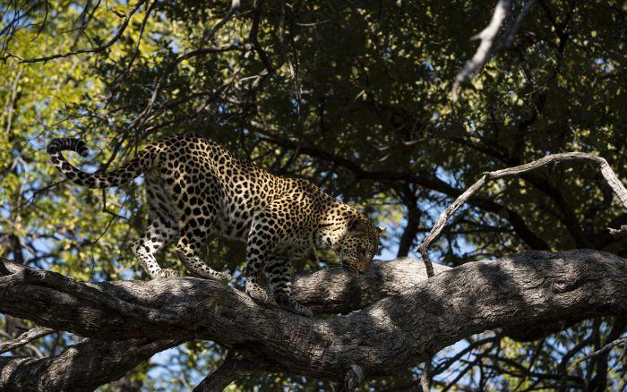 G17-leopard
