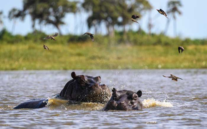 Qorokwe-Camp-hippos