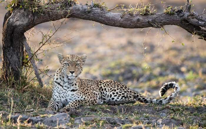 Qorokwe-Camp-leopard