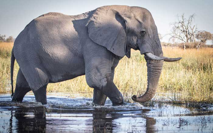 Mma Dinare elephant