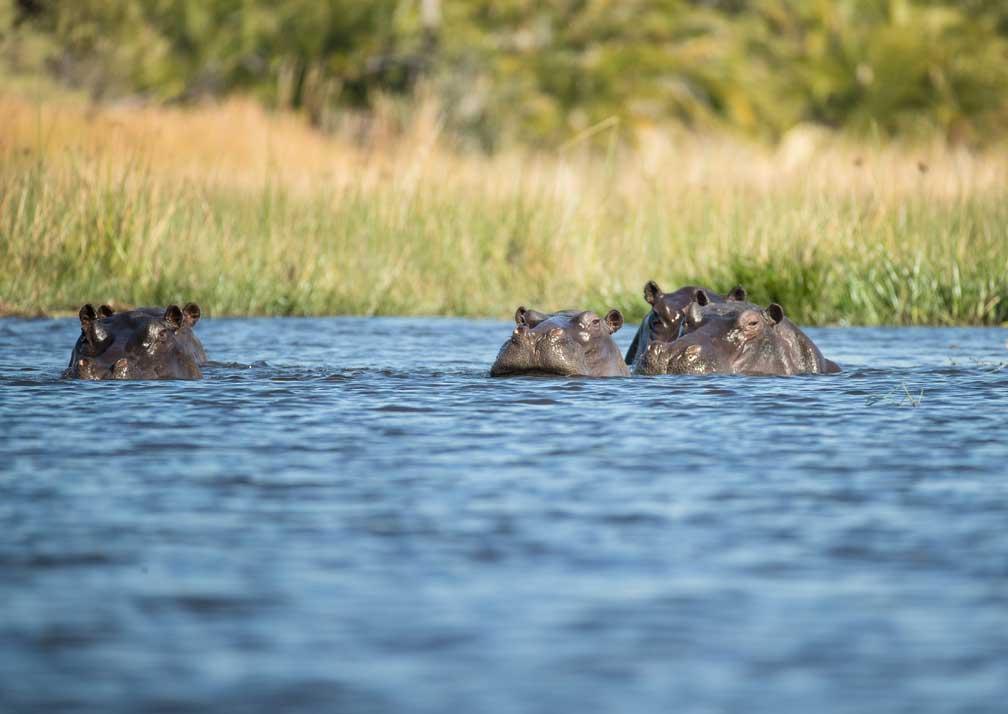 Hippos near Setari Camp