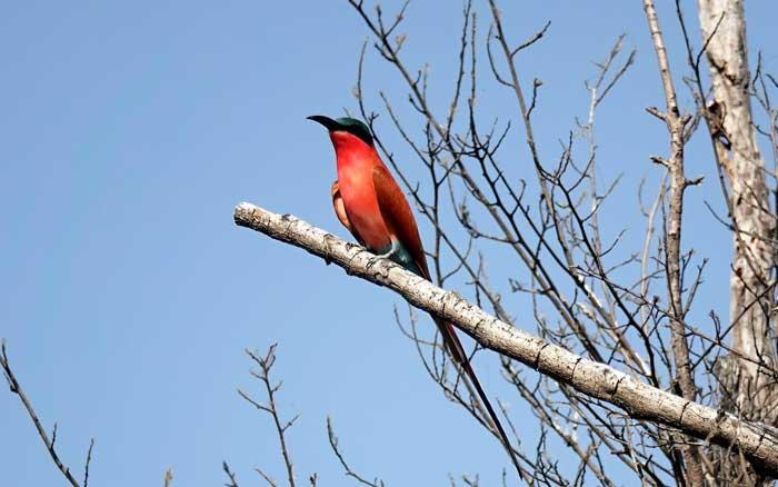 Setari bee-eater
