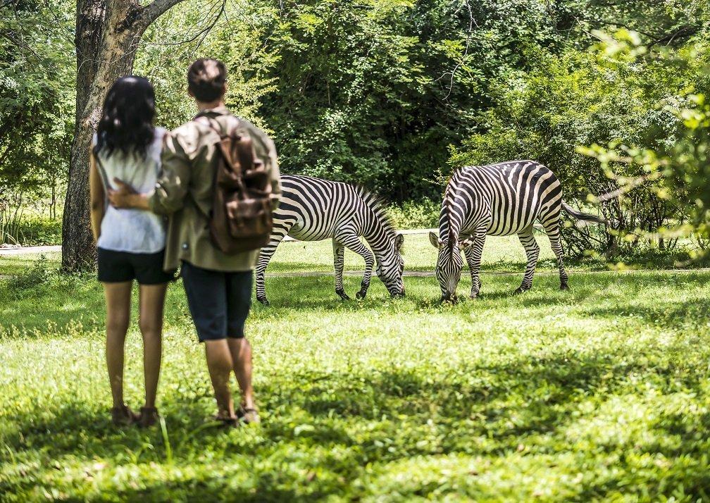 Avani Zebras