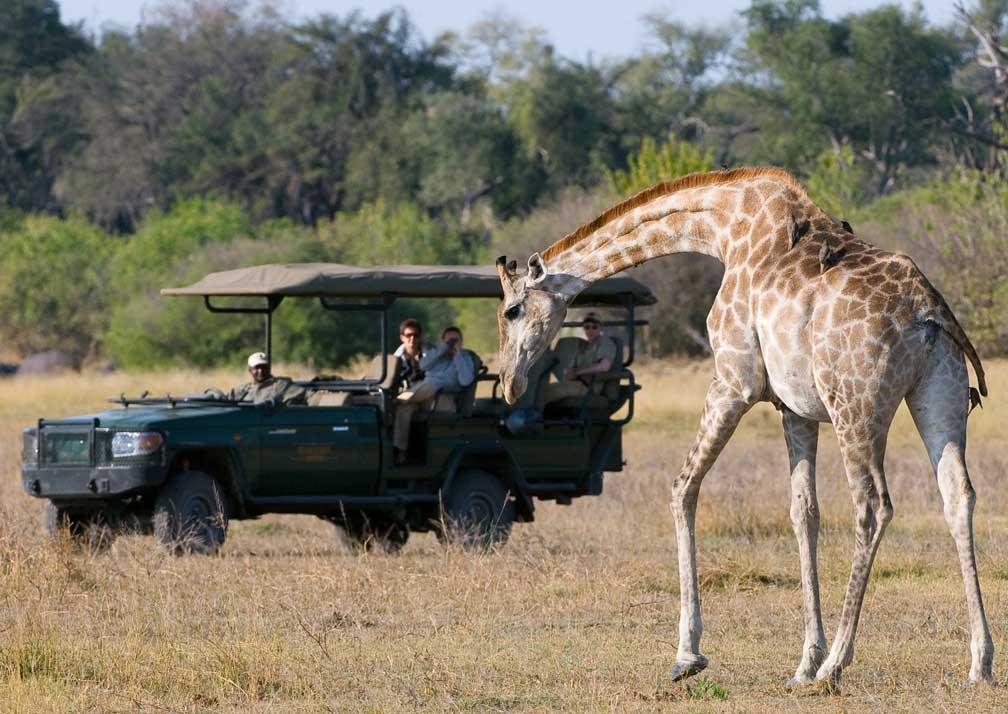 Giraffe on game drive