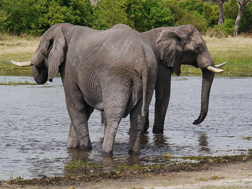 khwai-elephants