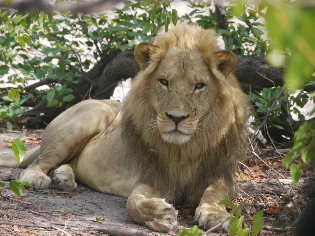 khwai-lion