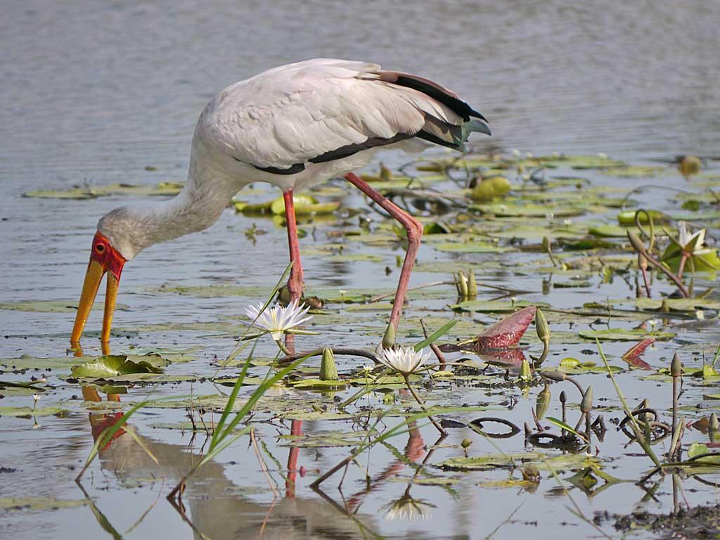 khwai-yellow-billed-stork