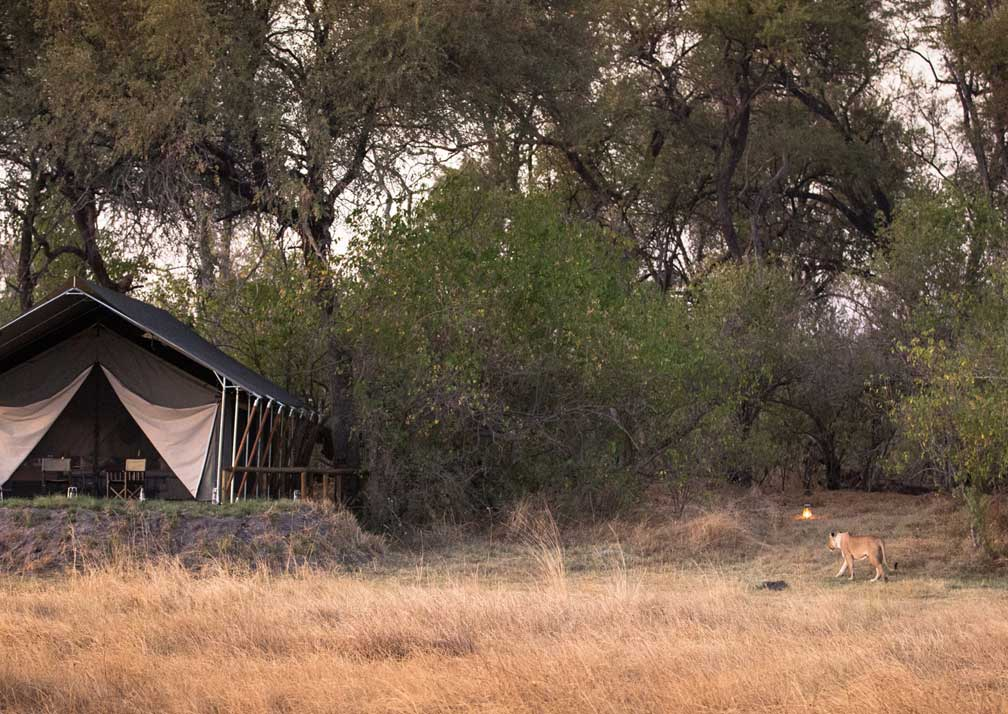 Little Machaba Camp tents and lion