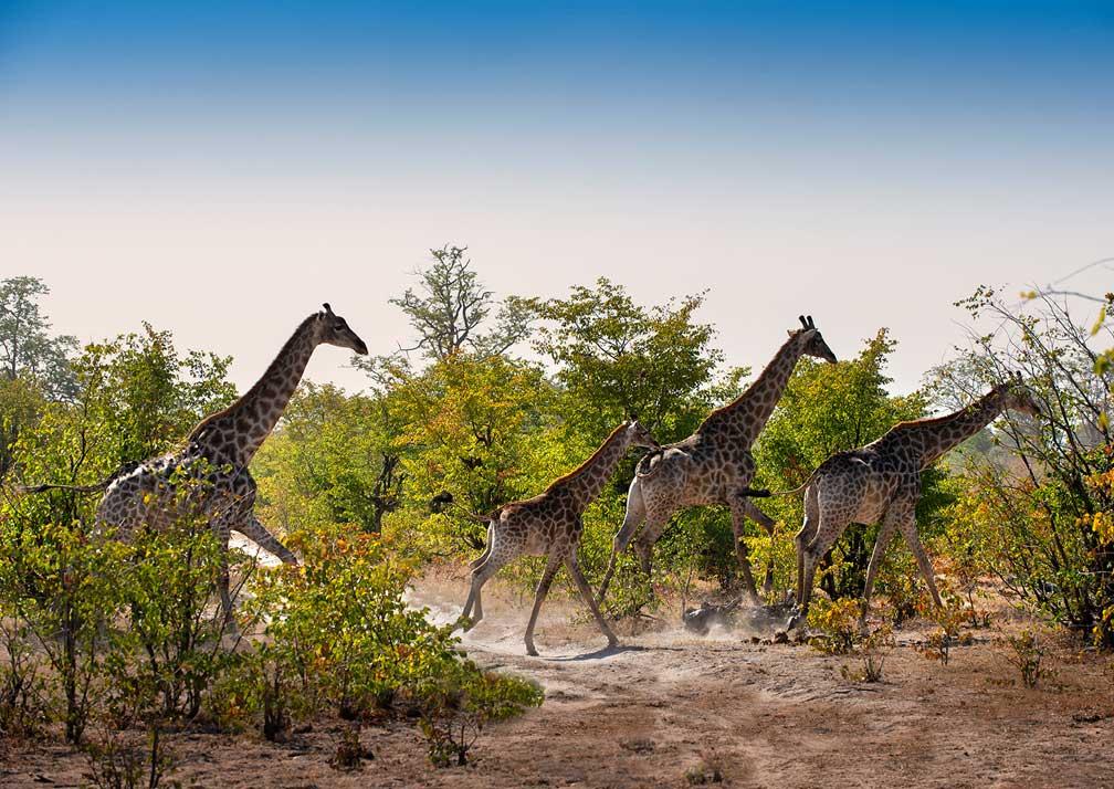 Giraffes near Linyanti Expeditions